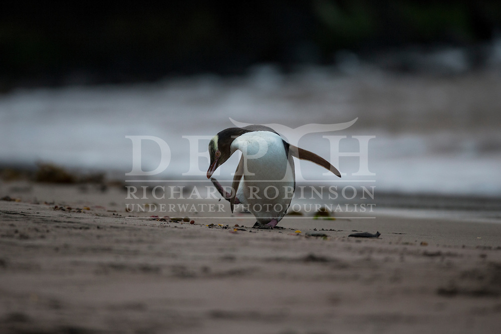 Megadyptes antipodes (Yellow eyed penguin) return from foraging at sea, Sandy Bay, Enderby Island, Auckland Islands, New Zealand.<br /> 16 January 2016<br /> Photograph Richard Robinson &copy; 2016