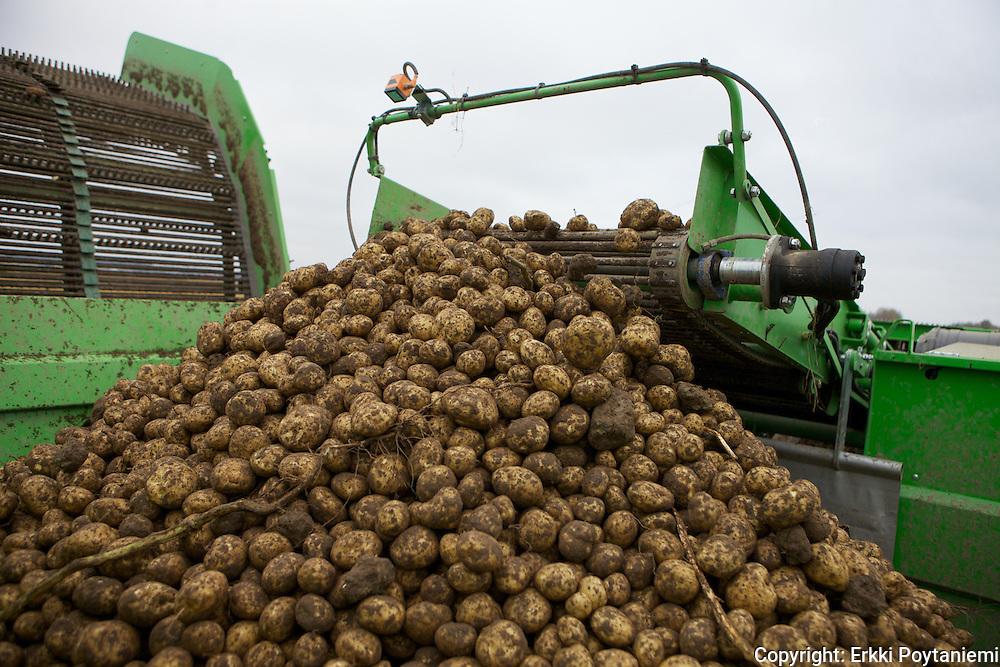 organic starch potato harvest