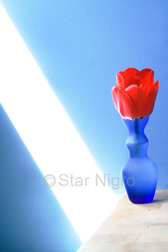 Tulip in the blue studio was a moment I found in my studio when the lighting was just right.<br /> <br /> <br /> <br /> <br /> &copy;2019 All artwork is the property of STAR NIGRO.  Reproduction is strictly prohibited.