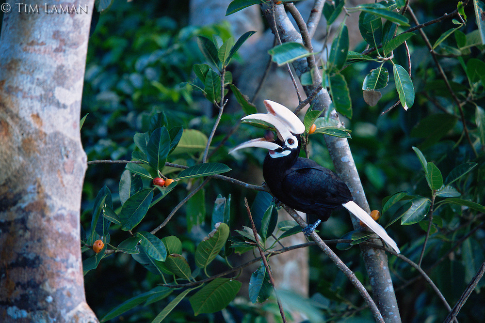 The endangered Palawan hornbill (Anthracoceros marchei) feeding on wild figs (Ficus sp)..Palawan Island, Philippines.
