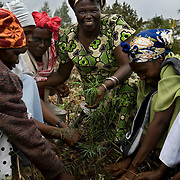 Nobel Peace Prize laureate Wangari Mathai plants trees with volunteers to rehabilitate a cleared section of Karura Forest in Nairobi.