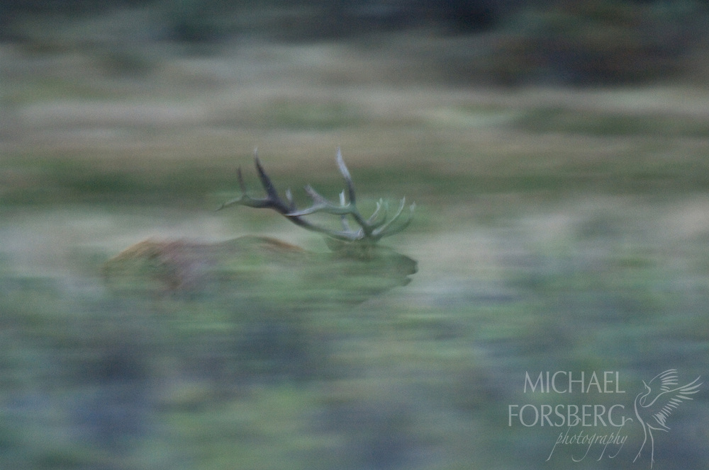 A bull elk rushes across the valley floor along the Missouri River to defend his harem territory during the fall rut. Missouri River Breaks, Montana.