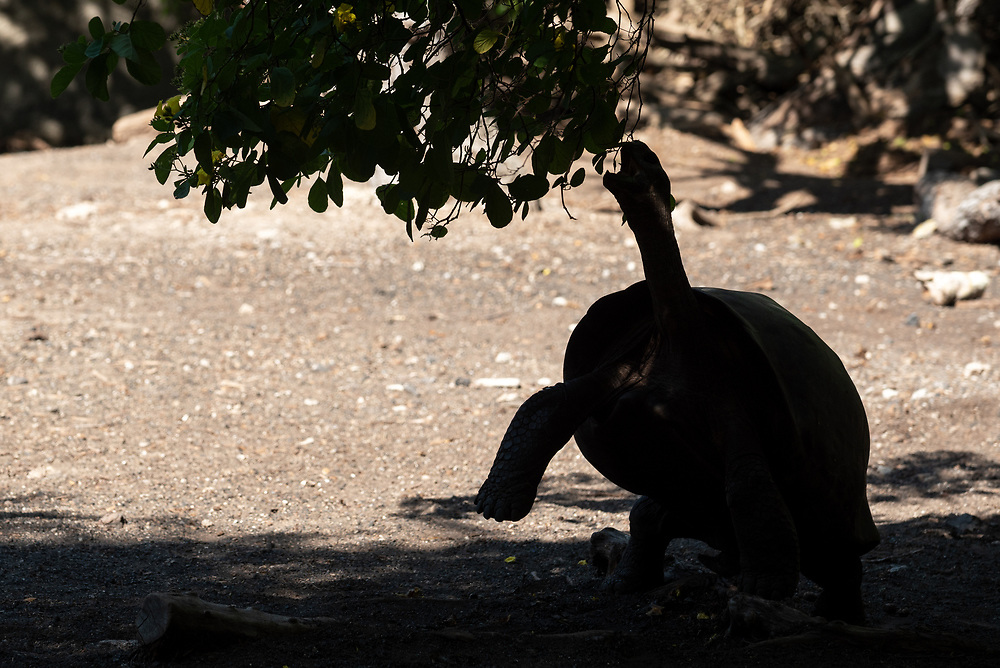 Giant tortoise reaching to eat leaves from a tree at the Giant Tortoise Breeding Center on Isabela Island, Galapagos Islands Ecuador.