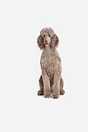 Standard poodle sitting on a white background looking at the camera
