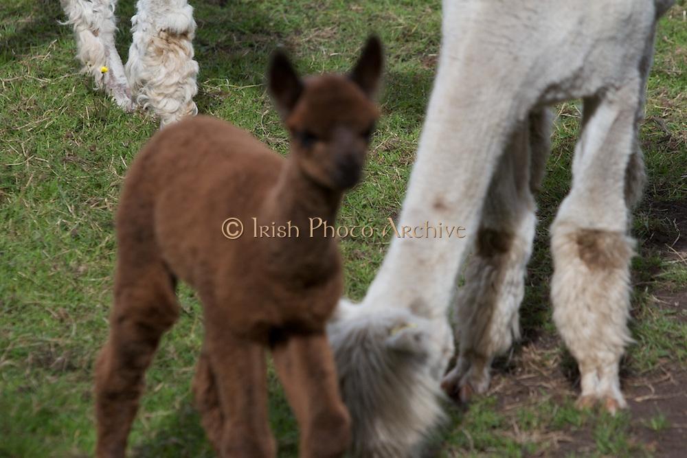 Llama, Farming, 2013 peruvain, livestock, wool, animal