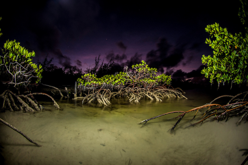 Just past sunset in the mangroves. Lemon sharks depend on mangroves for the survival of the first 5-8 years of their lives. Mangroves are disappearing throughout the world and the fate of the lemon shark is left in the balance. We need to get proper protections for the world's mangroves and then enforce them.