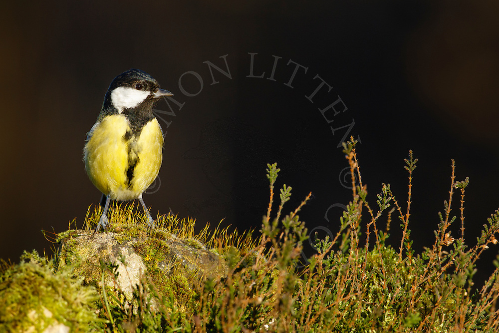 Great Tit (Parus major) adult, perched on moss covered rock, Norfolk, UK.