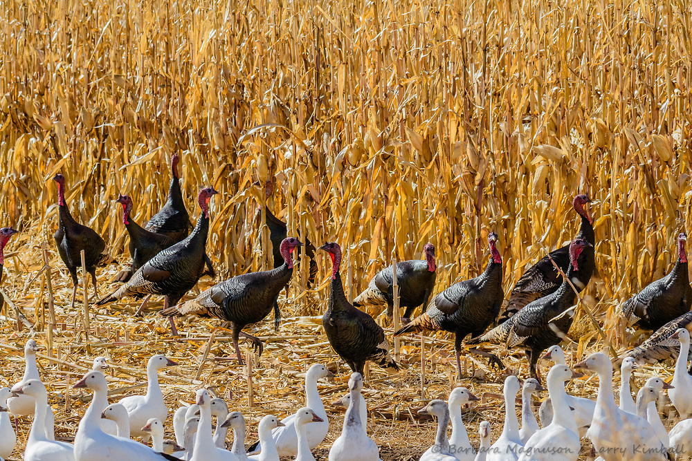 Rio Grande Turkey [Meleagris gallopavo intermedia] flock of toms cut a path through Sandhill Cranes and Snow Geese feeding in cut corn field; Bosque del Apache NWR., NM