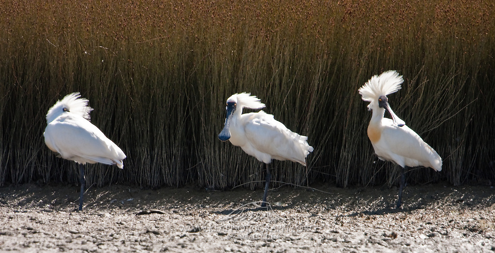 Royal Spoonbill, Invercargill Estuary, New Zealand