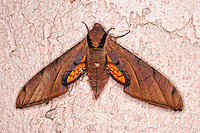 Huge streaked sphinx moth found on a stucco wall at night in Fort Myers, Fl.