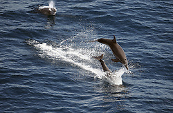 ATLANTIC OCEAN 2NOV14 - Dolphins jump as they travel in a straight line off the coast of Guinea.<br /> <br /> <br /> <br /> jre/Photo by Jiri Rezac / Greenpeace<br /> <br /> <br /> <br /> <br /> © Jiri Rezac 2014