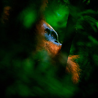 A through the leaves perspective of an adult male orangutan, Gunung Leuser National Park, Indonesia, 2017