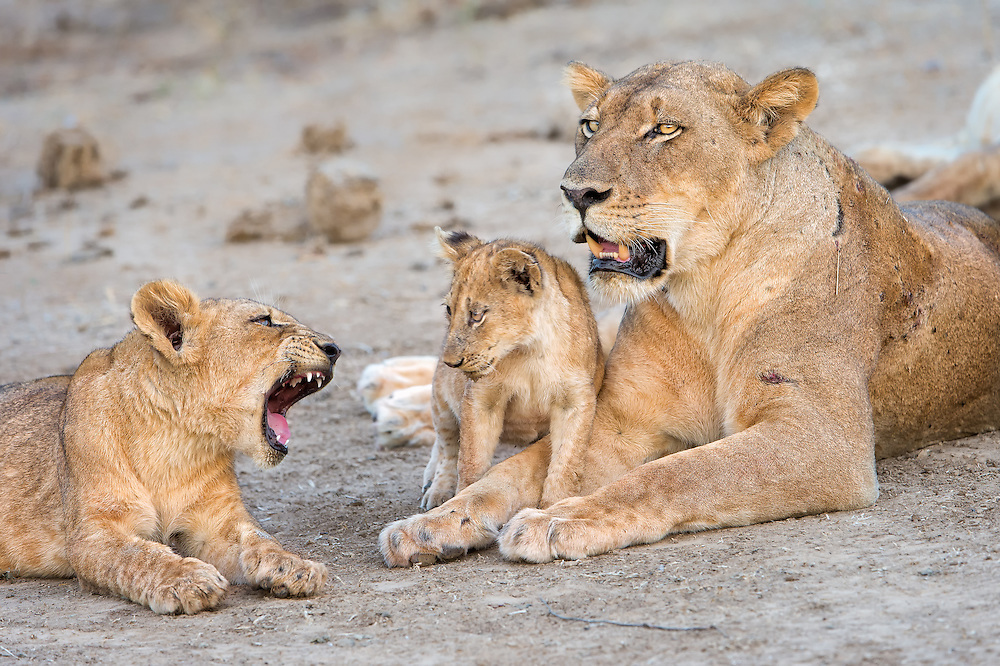 Two year old, one year old and mother lion