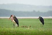 Marabout storks, Lake Nakuru National Park, Kenya