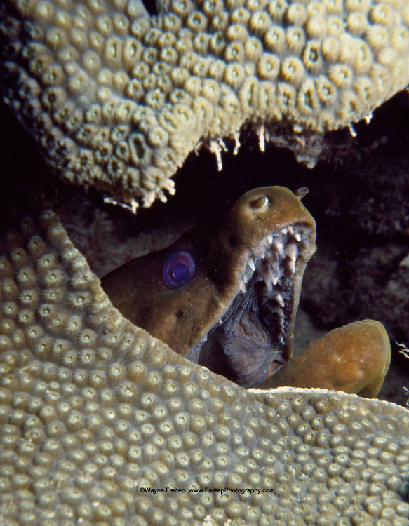 Viper Moray Eel (Enchelycore nigricans) Florida Keys