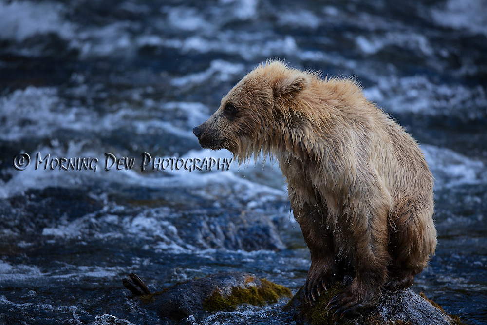 A yearling brown bear cub rests atop a rock in the Riffles along Brooks River.
