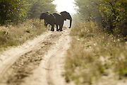 Elephants follow a road in the Phinda game reserve.