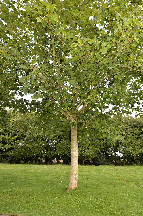 Norway Maple - Acer platanoides Aceraceae. Height to 30m. Spreading deciduous tree. Bark Smooth, grey, ridged. Branches Less crowded than Sycamore; twigs green, often tinged red. Leaves To 15cm long with 5–7 toothed and sharply pointed lobes. Reproductive parts Greenish flowers, in erect clusters of 30–40. Paired wings of fruits spread almost horizontally. Status Introduced, widely planted and naturalised.