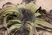 Welwitschia mirabilis. This unique plant consists of a woody stem and two large leaves. It is evergreen and the leaves grow continuously along the ground, often becoming frayed. W. mirabilis is endemic to the Namib desert, the most arid environment on Earth. It survives this environment partly because of its roots, which can grow to depths of 30 metres. The oldest living plant is 1500 years old. The largest leaf found is 6 metres long and 2 metres wide. Photographed in the Namib desert.
