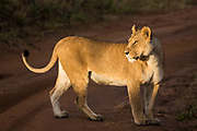 Lion, Serengeti National Park, Tanzania, Africa