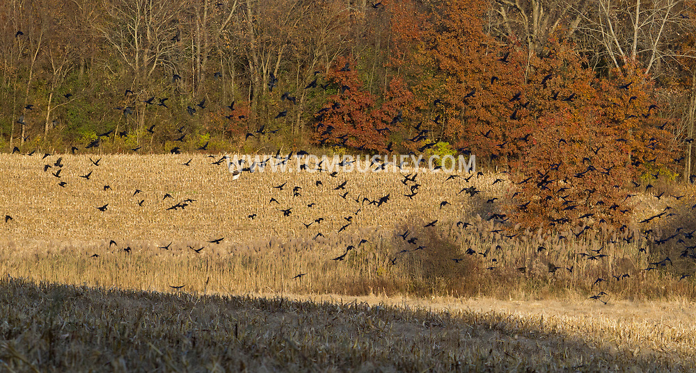Wawayanda, New York  - Crows gather in a cornfield to feed on the afternoon of  Nov. 4, 2013.