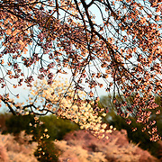 The famous Yoshino Cherry Blossoms surrounding the TIdal Basin in Washington DC burst into bloom for spring.