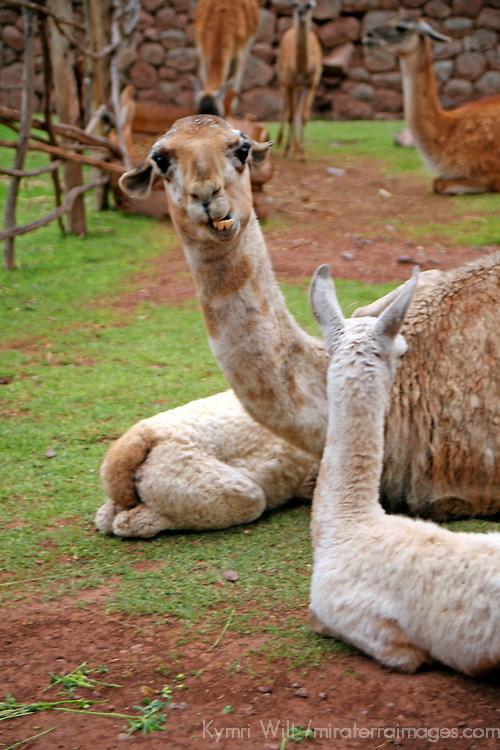 Americas, South America, Peru. A mother llama and baby cria at Awana Kancha breeding center in the Urubamba Valley.