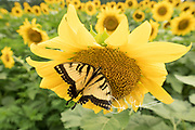 An Eastern Tiger swallowtail butterfly harvests pollen from a sunflower.