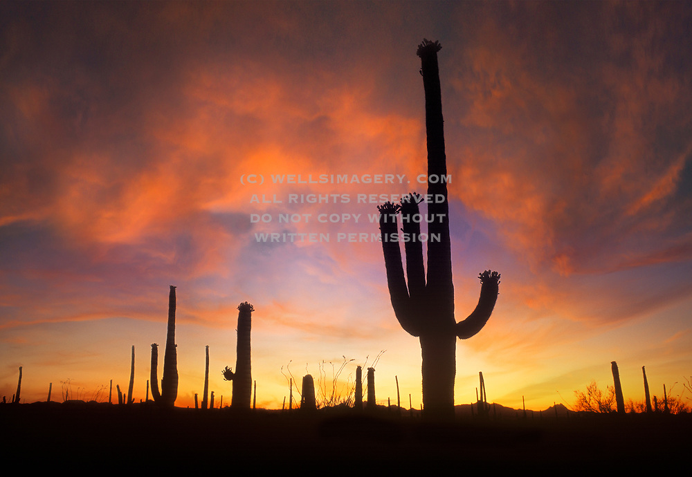 Image of the saguaro cactus at Saguaro National Park, Tucson, Arizona, American Southwest, Sonoran Desert