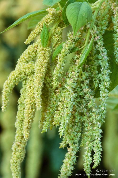 Amaranthus caudatus 'Viridis'