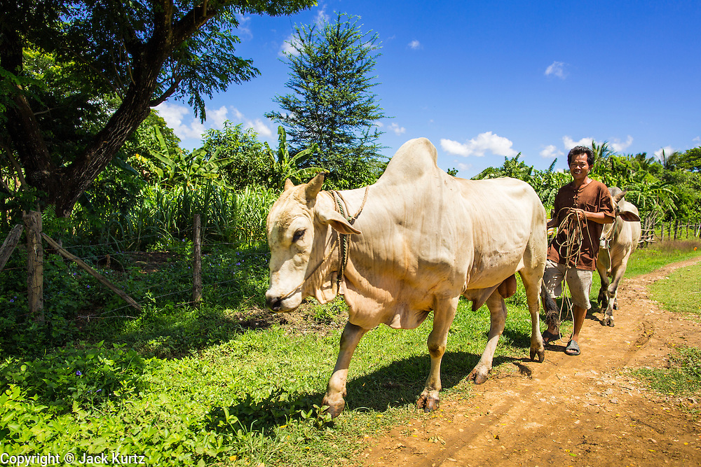 29 JUNE 2013 - BATTAMBANG, CAMBODIA:  A man walks his cows along the side of the bamboo train tracks near Battambang. The bamboo train, called a norry (nori) in Khmer is a 3m-long wood frame, covered lengthwise with slats made of ultra-light bamboo, that rests on two barbell-like bogies, the aft one connected by fan belts to a 6HP gasoline engine. The train runs on tracks originally laid by the French when Cambodia was a French colony. Years of war and neglect have made the tracks unsafe for regular trains.  Cambodians put 10 or 15 people on each one or up to three tonnes of rice and supplies. They cruise at about 15km/h. The Bamboo Train is very popular with tourists and now most of the trains around Battambang will only take tourists, who will pay a lot more than Cambodians can, to ride the train.       PHOTO BY JACK KURTZ