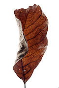 curled up and dried leaf