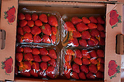 Cambui_MG, Brasil...Detalhe de morangos comercializados na BR 381 in Cambui...Detail of strawberries sold in the BR 381 in Cambui...Foto: LEO DRUMOND / NITRO....