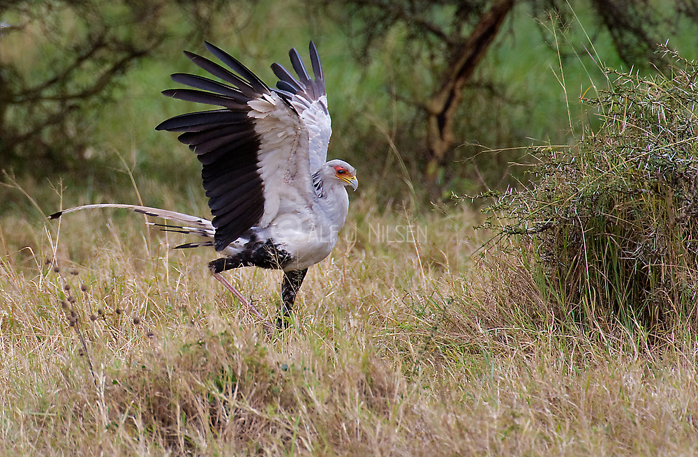 Secretary Bird (Sagittaria serpentaria) hunting for snakes in Solio Ranch, Kenya