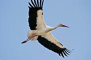 EN. White Stork (Ciconia ciconia) in flight. Spain.<br /> ES. Cigue&ntilde;a blanca (Ciconia ciconia) en vuelo. Espa&ntilde;a