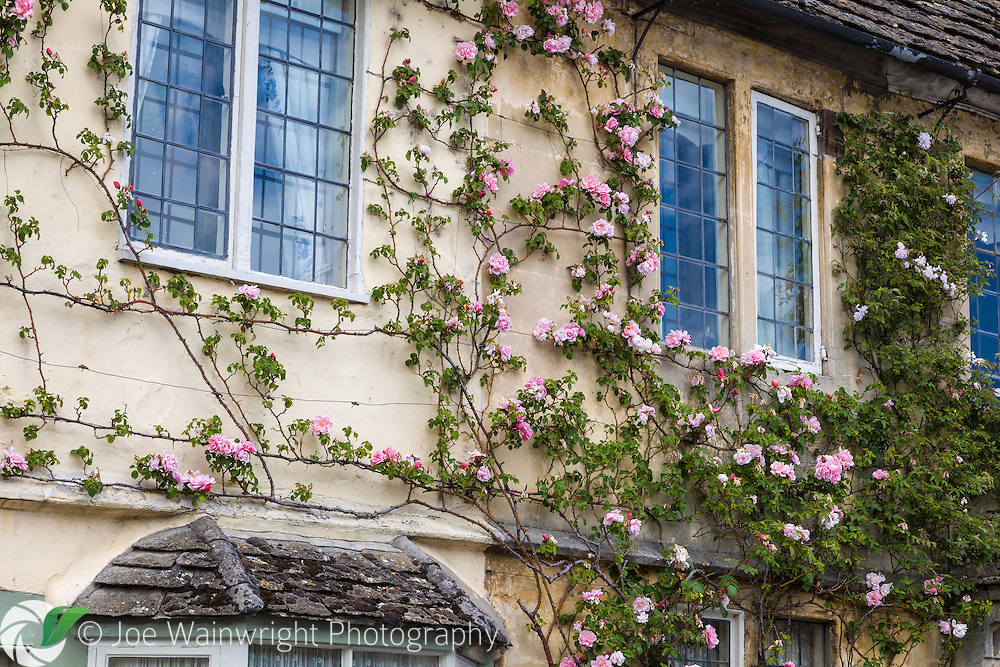 Climbing roses scramble over the wall of a pretty cottage in the Wiltshire village of Lacock
