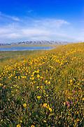 Goldfields (Lasthenia californica) on Overlook Hill above Soda Lake, Carrizo Plain National Monument, California