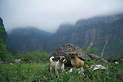 LIANGSHAN, CHINA - MAY 14: (CHINA OUT) <br /> <br /> Two dogs are seen in Atuler village located at the 800-meter-high cliff on May 13, 2016 in Liangshan Yi Autonomous Prefecture, Sichuan Province of China. 72 families lived in Atuler village on the 800-meter cliff at Meigu River Canyon in Liangshan Yi Autonomous Prefecture. 15 pupils, aged 6 to 15, accompanied by 3 adults regularly spent 2 hours climbing 17 vines ladders hung on the 800-meter-high cliff to go between school and home twice a month. Villagers used the same ladders to go to the nearest market once a week to sell peppers and walnuts and buy necessities.<br /> ©Exclusivepix Media