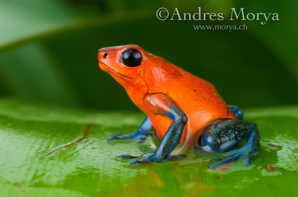 Strawberry poison frog or strawberry poison-dart frog (Oophaga pumilio), Costa Rica. Is a species of small amphibian poison dart frog found in Central America. It is common throughout its range, which extends from eastern central Nicaragua through Costa Rica and northwestern Panama. The species is often found in humid lowlands and premontane forest, but large populations are also found in disturbed areas such as plantations.[1] The strawberry poison frog is perhaps most famous for its widespread variation in coloration, comprising approximately 15-30 color morphs, most of which are presumed to be true-breeding. D. pumilio, while not the most poisonous of the dendrobatids, is the most toxic member of its genus. Image by Andres Morya