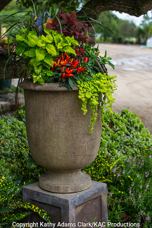 Container garden, peppers, coleus, creeping jenny, Garden, Houston, late summer, Texas.