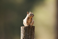 A Uinta Ground Squirrel sits on top of a fence post along a farmers field in a mountain valley in northern Utah.
