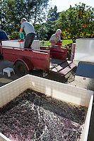 Marechal Foch wine grapes are put into a destemmer as the first part of the winemaking process.