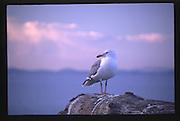 Sea Gull at Dungeness Spit, Dungeness National Wildlife Refuge, Olympic Peninsula, Washington, US