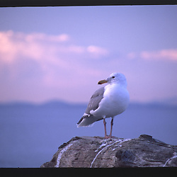 Sea Gull at Dungeness Spit, Dungeness National Wildlife Refuge, Olympic Peninsula, Washington, US