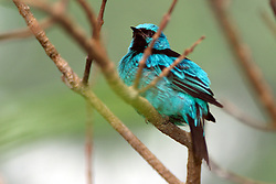 05 June 2005:   The blue dacnis or turquoise honeycreeper is a small passerine bird. This member of the tanager family is found from Nicaragua to Panama, on Trinidad, and in South America south to Bolivia and northern Argentina.