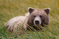 North American brown bear /  coastal grizzly bear (Ursus arctos horribilis) sow lays in a grassy field, Lake Clark National Park, Alaska, United States of America