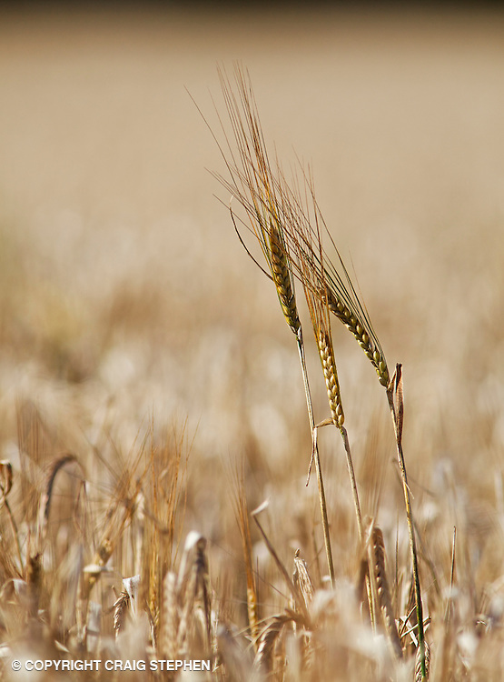 Close up of wheat, shallow depth of field