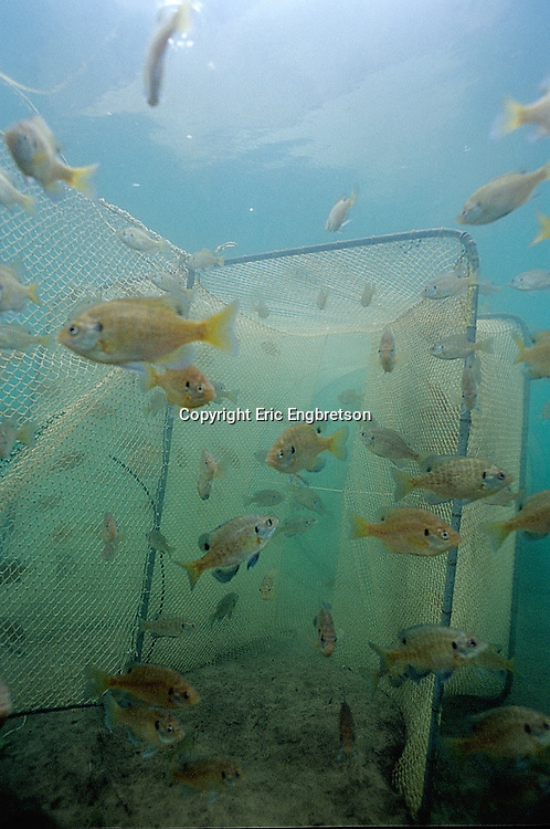 Bluegill Sunfish being collected in DNR fyke nets.  Diamond Lake, Vilas Co. WI.<br /> <br /> ENGBRETSON UNDERWATER PHOTO