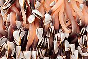 Gooseneck barnacles (Pollicipes pollicipes) on beached flotsam. Dorset, UK.