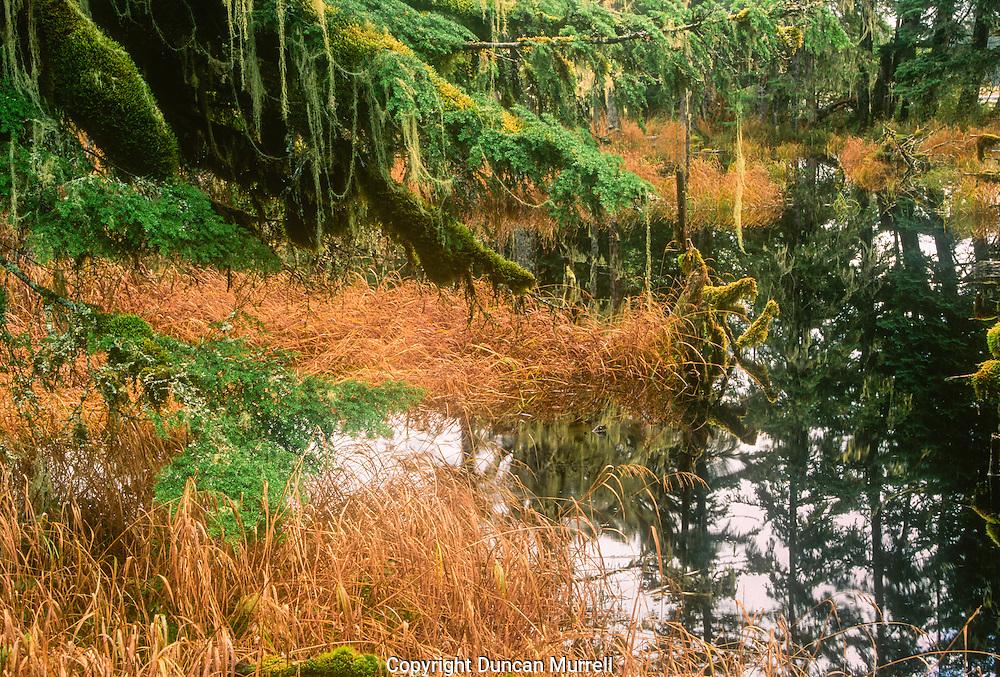 Western hemlock (Tsuga heterophylla) growing beside beaver pond, on the mainland just north of Petersburg, Southeast Alaska, USA.